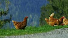 Hühner 10