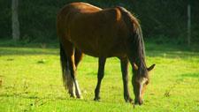 Pferd weidet auf Koppel 05