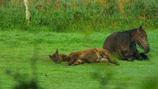 Pferde ruhen im Gras 02