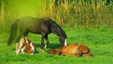 Pferde ruhen im Gras 03