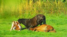 Pferde ruhen im Gras 04