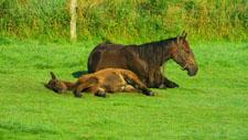 Pferde ruhen im Gras 05