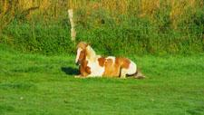 Pferde ruhen im Gras 06