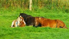 Pferde ruhen im Gras 07