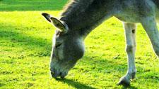 Esel auf Koppel 05