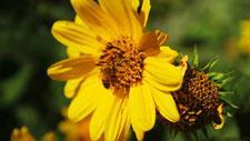 Biene sammelt Pollen 01