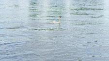Schwan auf Wasser 01