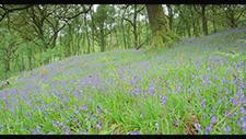 Lila Blumen im Wald in Schottland 6K RED 01