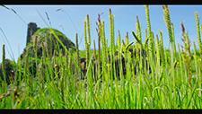 Hochland Gras auf Wiese in Schottland 6K RED 01