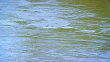 Nilpferd taucht in Gewässer 01