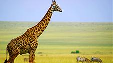 Giraffe läuft durch Savanne 04