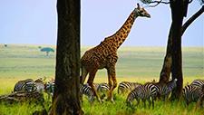 Giraffe läuft durch Savanne 05