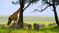 Giraffe und Zebras in der Savanne 01