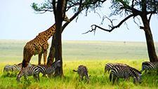 Giraffe und Zebras in der Savanne 02