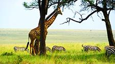 Giraffe und Zebras in der Savanne 03