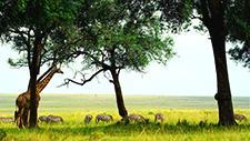 Giraffe und Zebras in der Savanne 04