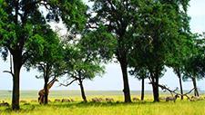 Giraffe und Zebras in der Savanne 05