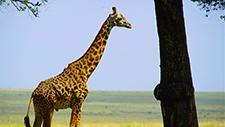 Giraffe in der Savanne 02