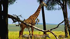 Giraffe und Zebras in der Savanne 06