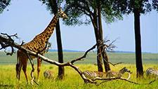 Giraffe und Zebras in der Savanne 07