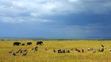 Geier zerlegen Beute neben Elefanten 01