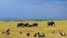 Geier zerlegen Beute neben Elefanten 02