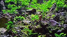 Batu Caves Affe an Felswand 02
