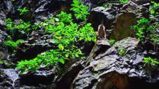 Batu Caves Affe an Felswand 03