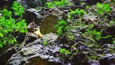 Batu Caves Affen an Felswand 01