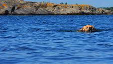 Hund schwimmt in See 05