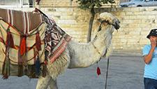 Kamel auf Straße 01