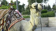 Kamel auf Straße 02