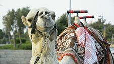 Kamel auf Straße 03